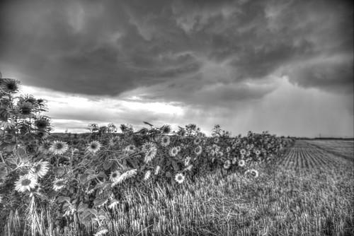 Sonnenblumen Uedorf | hdr tonemapped bwartistic