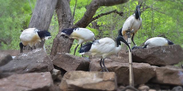 Sacred Ibis, Hanging Around