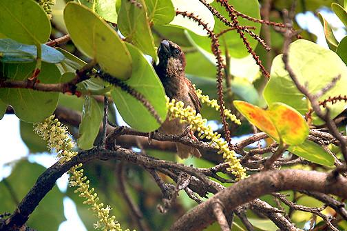 sparrow in sea grape tree