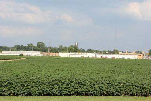 Cotton, Jackson TN
