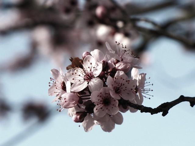 Classic Cherry Blossoms