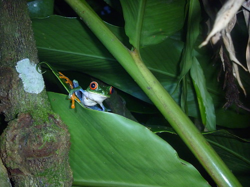 Red Eyed Tree Frog by tomp77