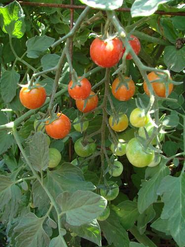 SweetMillionTomatoes