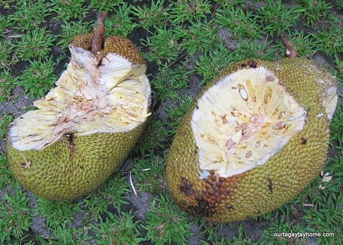 Tagaytay harvest Aug2012