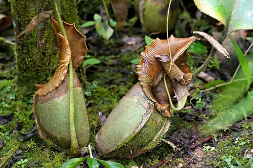 raffles' pitcher plant,nepenthes rafflesiana.