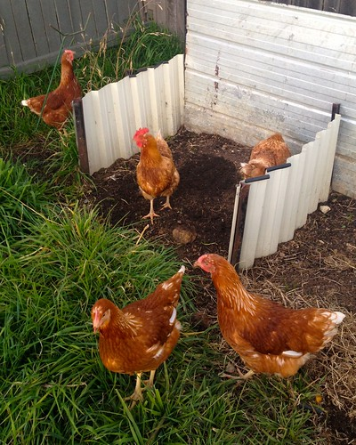 chickens in compost