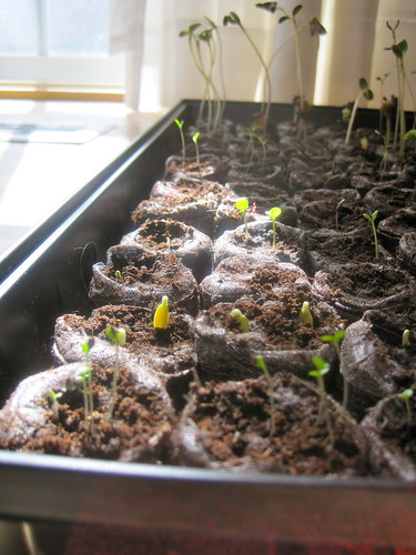 Seedlings in Jiffy Starter
