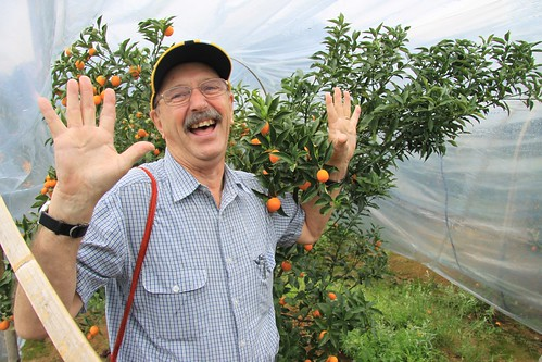 Cumquat picking