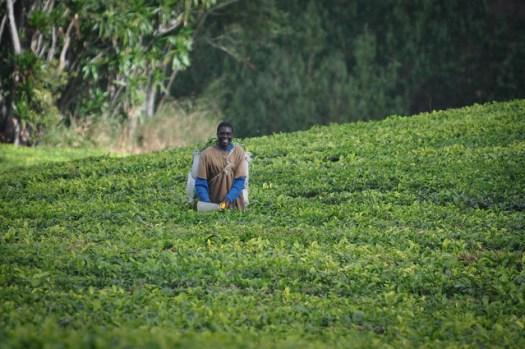 Harvesting tea at Satemwa, Malawi - Photo courtesy of Skip Russell