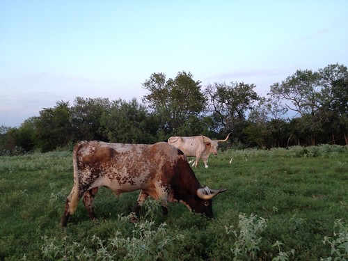 Longhorns at Lazy U Ranch
