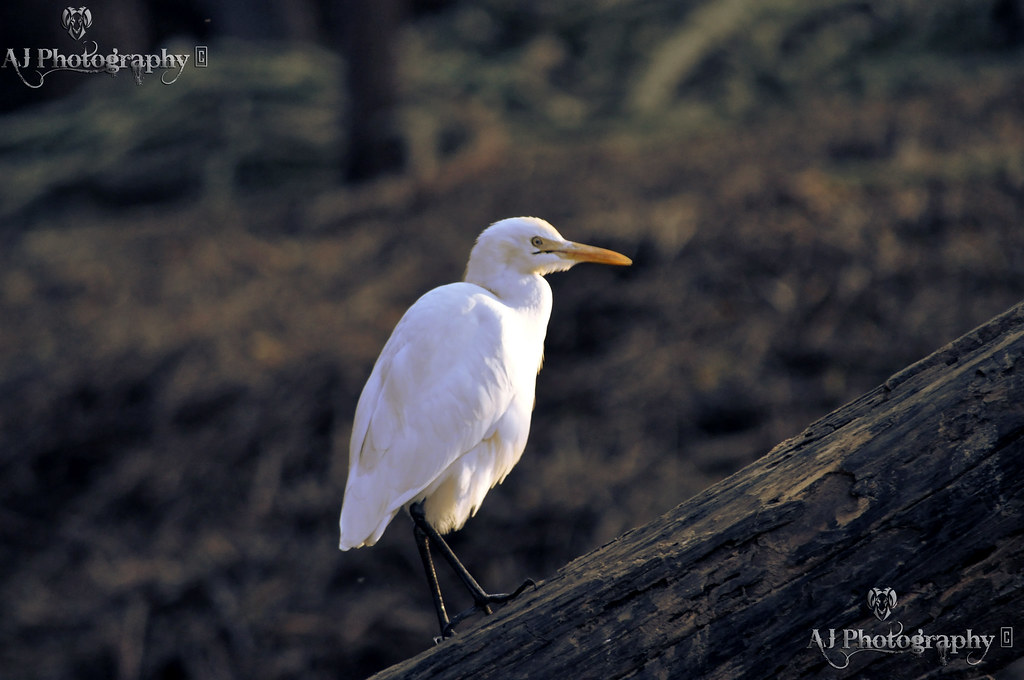 White Duck at Flickr by Ajay Singh Kharayat