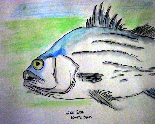 Lake Erie White Bass