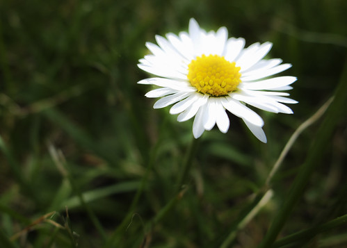daisy by Jill Sawyer Phypers
