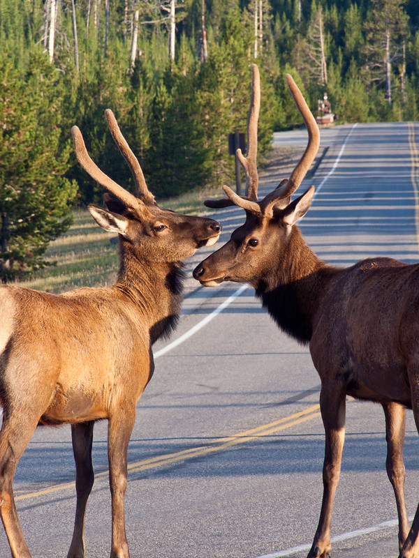 Elk couple on the road, yellowstone national park