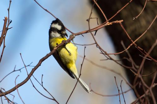 Crested Shrike-tit 2012-08-15 (_MG_2297)
