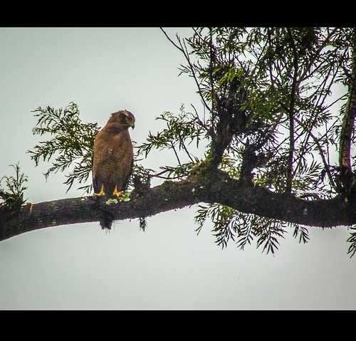 Crested Serpent Eagle by Rajanna @ Rajanna Photography