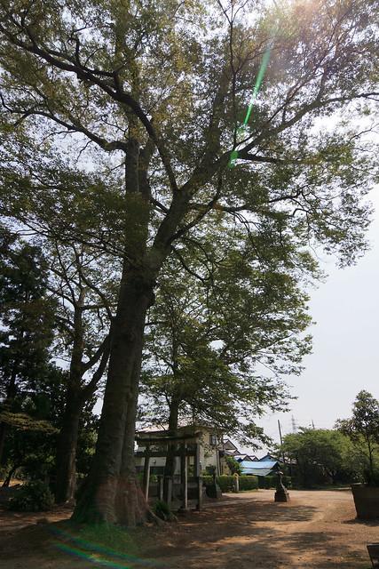 #36 The Giant Zelkova of Yana Hachimanguu