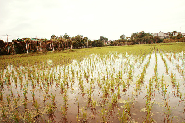 Exploring rice paddies near our house