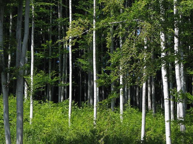 Pădurea de fagi