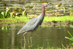 Little Blue Heron, Ledell Pond, Mendham Township, NJ, April 21, 2012