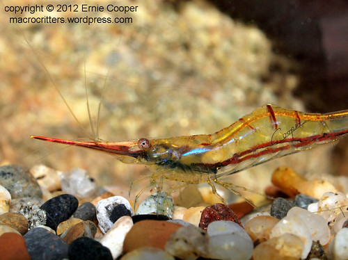 Pinocchio Shrimp (Caridina gracilirostris) © Ernie Cooper 2012 sm for post