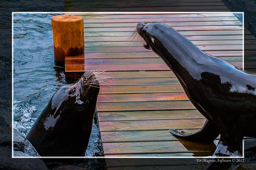 Sea lions at the aquarium in Bergen by Tor Magnus Anfinsen