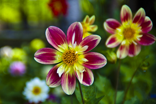 Splendid annual dahlia