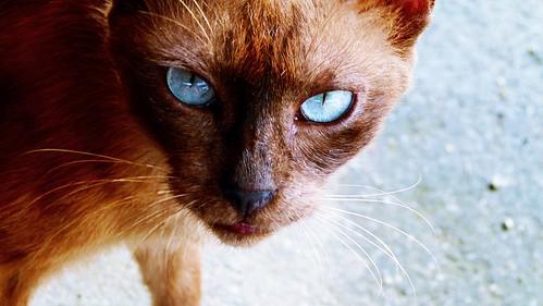 cat / kucing