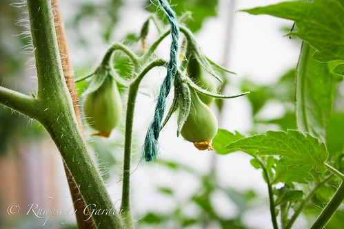 pear shaped tomatoes