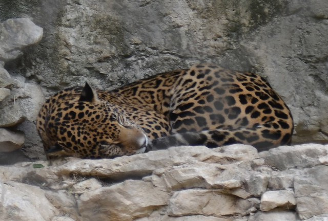 Dozing Jaguar