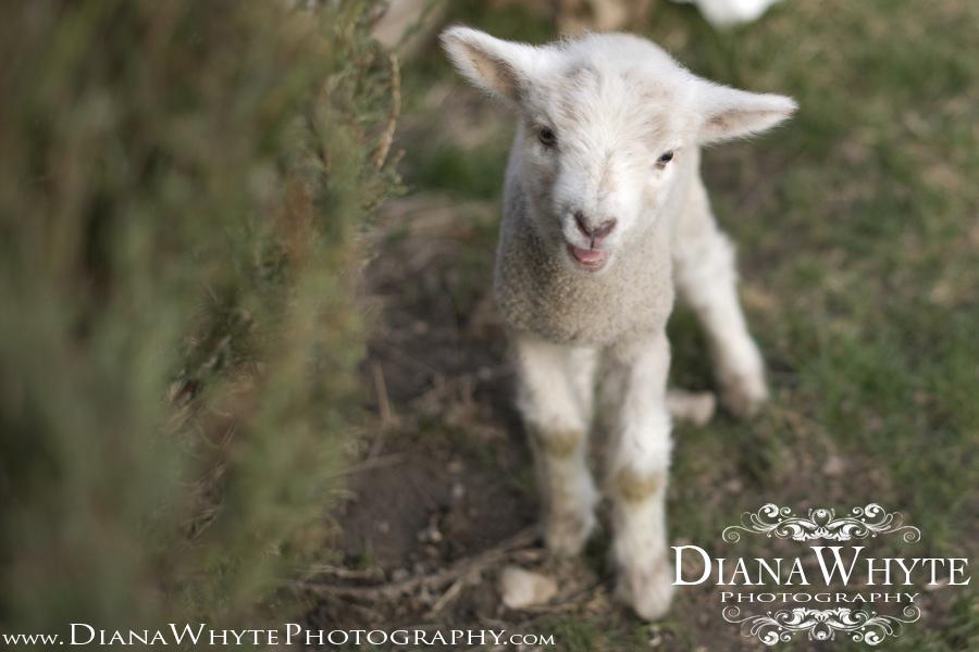Lamby 06