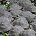 Tortoises of the Galapagos Tortoise Breeding Center