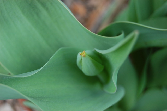 Tulip bud nestled in its leaves