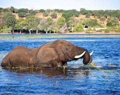 Elephant - Chobe National Park, Botswana