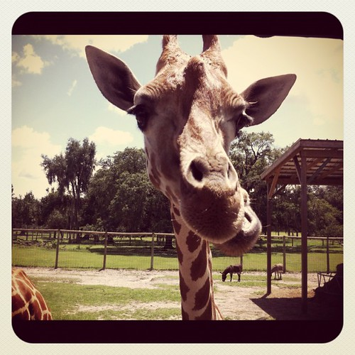 Giraffe Savoring its Snack, Giraffe Ranch, Dade City, Fla.
