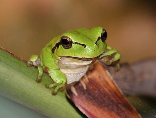 2012_04_24 PB - European Tree Frog (Hyla arborea) 15