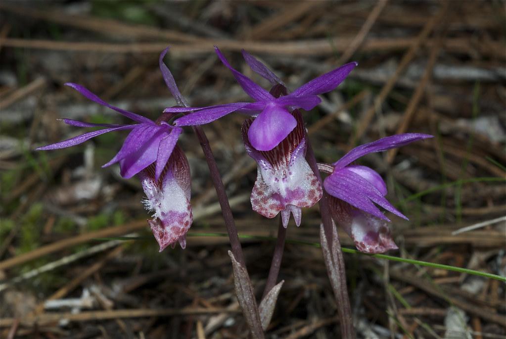 Fairyslipper, Calypso Orchid