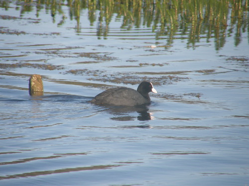 A determined coot