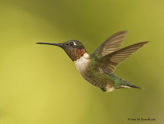 Ruby throated Hummingbird IMG_2313edtsg