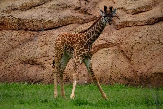 Baby Giraffe Crouching Down