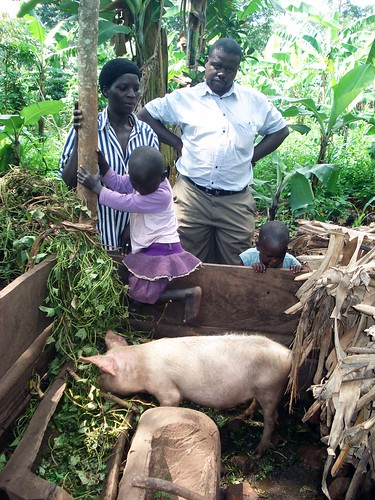 Sweet potato vines offered to pigs as feed