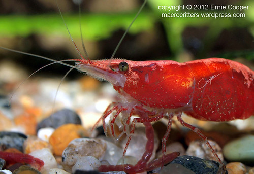 cherry red shrimp Neocaridina heteropoda © Ernie Cooper 2012  sm for post