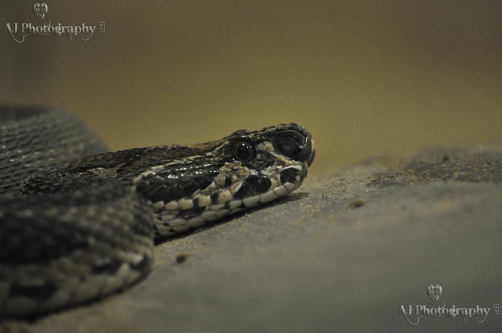 Python Molurus at Flickr by Ajay Singh Kharayat