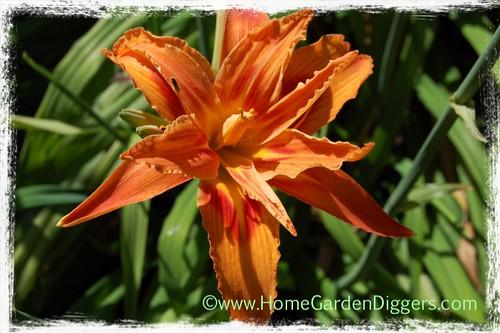 Orange Double Daylily