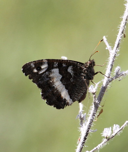 2012_07_08 RUI - Great Banded Grayling (Brintesia circe) 03