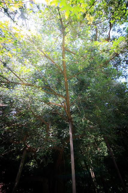 #45 The Giant Nutmeg-yew of Henjou Temple