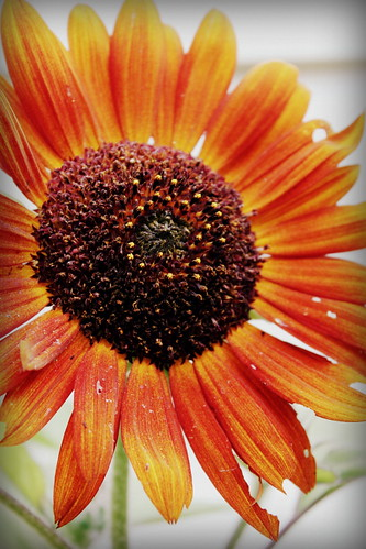 20120811. Sunflower dreams.