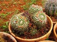 Mammillaria sempervivi