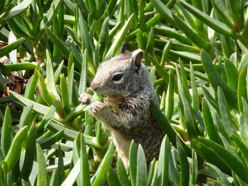 CA - SD  3-19-12 048 Children's Pool  Squirrel