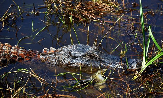 Sleepy Alligator